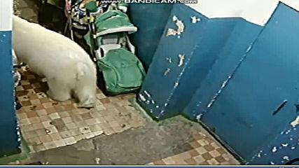 Извънредно положение в град в Русия - атака на бели мечки