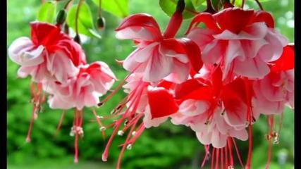 Miracle flower - Fuchsia... ...(music Richard Abel)... ...