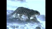 Снежен Барс - Ирбис# 3