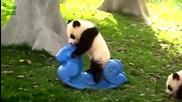 Забавна Компилация - Сладки Панди си играят