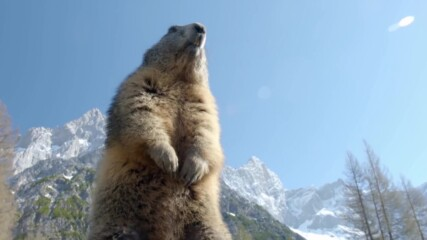 Подготовка на мармот за зимата | NG Wild Bulgaria