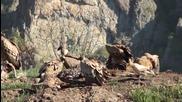 Над 30 доброволци охраняват гнездата на египетските лешояди в Източните Родопи