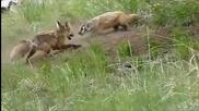Битка - Лисица срещу Язовец