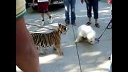 тигърче си играе с куче комондор