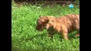 Три тигърчета
