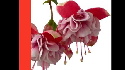 Fuchsia... ...(music Ernesto Cortazar) ... ...