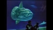 Най - Голямата Костна Риба В Света