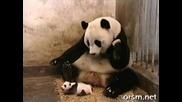 Панда се стряска от кихането на малкото си ! Смях ;-d