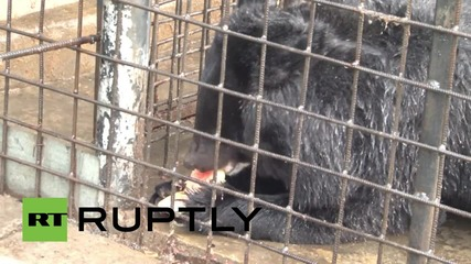 Russia: Residents fearful of 'vegetarian' bears living in suburb of Khabarovsk