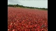 Cranberry Harvest - Събиране на боровинки