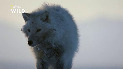 Арктически вълци срещу мускусни бикове
