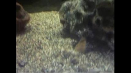 Сладководни аквариумни миди