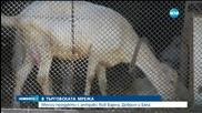Четирима задържани заради месото с антракс