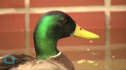 2,000 Geese Fall Dead Mid-Air in Idaho