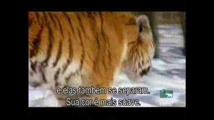 човек наблюнава как диви тигри ловуват