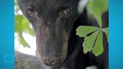 Scared Black Bear Wanders Into Louisiana Town, Just Lookin' for a Friend