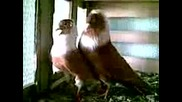 Чирпански Гълъби