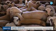 Спешни мерки, след като ветеринарен лекар се зарази с бруцелоза