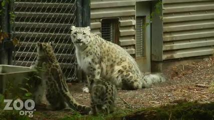 Малки снежни леопардчета