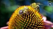 Пчеличка събира нектар от цветята