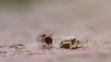 Мравка срещу Паяк и накрая Женската печели
