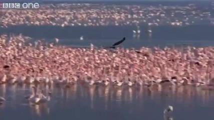 Орел лови фламинго