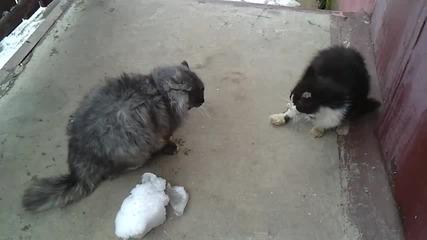 2 котки се борят бурно в Русия