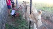 Момиче без страх прегръща две лъвици!
