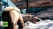Russia: See the moment two polar bears meet for the first time ever!