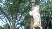 """Бели тигри (""""Без багаж"""")"""