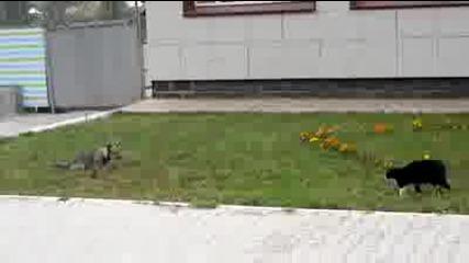 най якия дуел между котка и куче