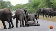 Слоница търпеливо изчаква малкото си да полежи на горещия асфалт на пътя!