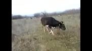 Kristina - Krava [xd]