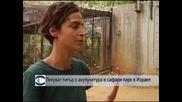 Лекуват тигър с акупунктура в сафари парк в Израел