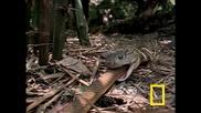 Кобра срещу плъхова змия