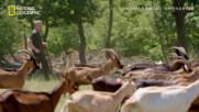 Прибиране на кози | сезон 3 | Гордън Рамзи: Кулинарният изследовател | National Geographic Bulgaria