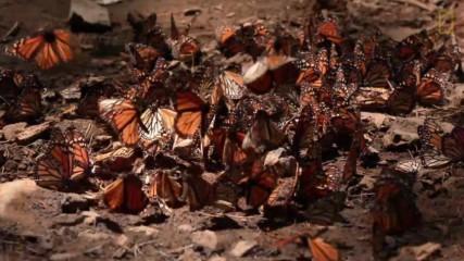 Миграция на пеперудите монарх