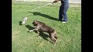 Pit Bull Тренировка