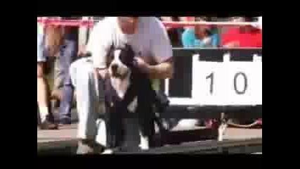 Pitbull Show 2008