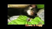 Stambini: кучката Пинчи VS. котката Pussy  !DTV