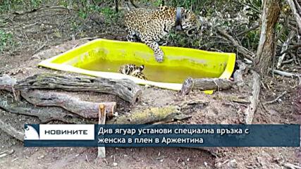 Див мъжки ягуар установи специална връзка с женска в плен в Аржентина