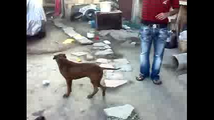 Pitbull and Rottweiler