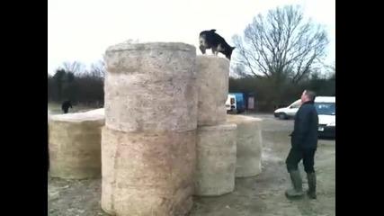 немската овчарка - Зина