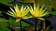 Beautiful water lily Красива водна лилия
