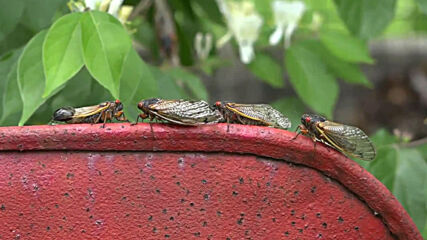 Here come the cicadas! Billions of insects emerge across 15 US states after 17 years