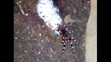 Бебо Расте ;dd (тарантула)