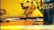 Golden който обожава китарата... :d