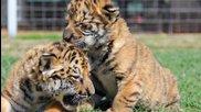 човек гледа тигърчета от малки