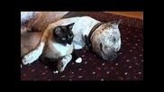 Cat and Dog Cuddling. Pit Bull Sharky Loves Snowshoe cat Max-arthur