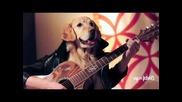 Golden Retriever свири на китара :)